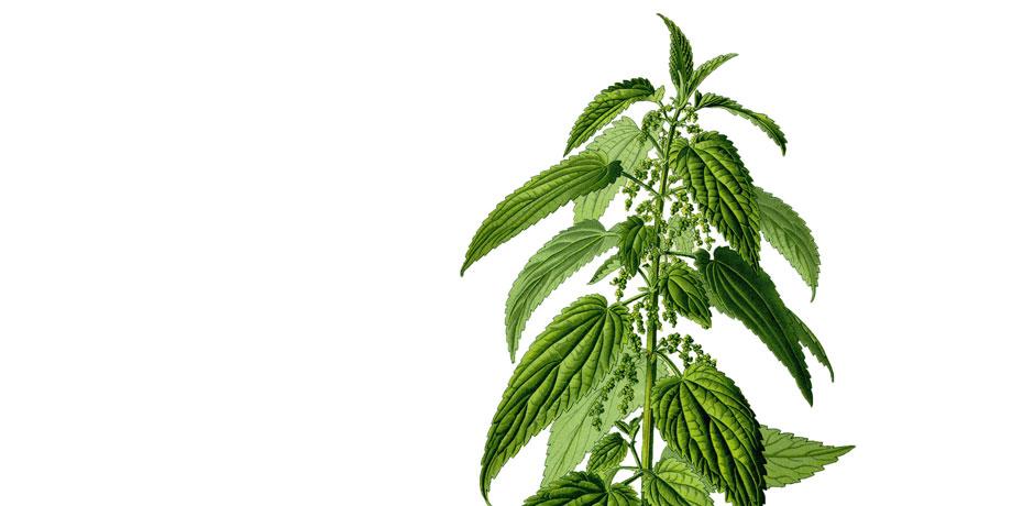 Secrets de Plantes – L'Ortie